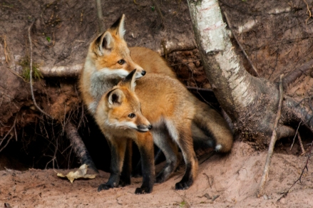 Photo of the Year (Nature) Fox Kit Bayfield M. Jeske