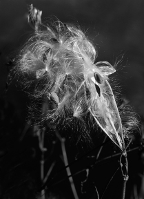 DM milkweed-seed-pod John Lowin