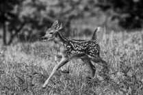 HM 43 DM White Tail Deer Fawn John Lowin