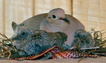 68 DC Nesting Dove Sandra Weber